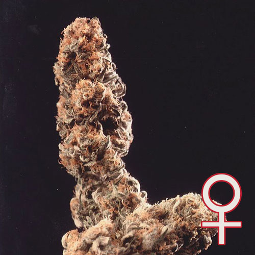 Afghani Special Feminized
