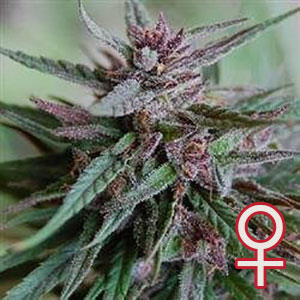 Bahia Black Head Feminized