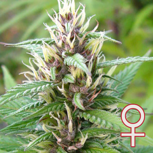 Mind Bender Feminized