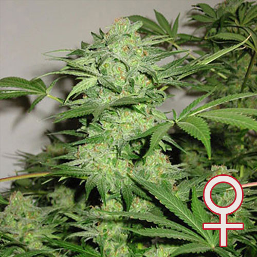 Northern Light Special Feminized